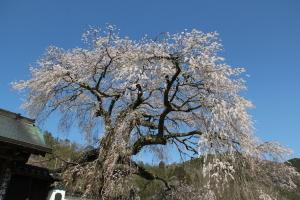 播磨一本堂大糸桜