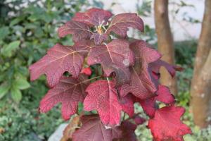 カシワバアジサイ紅葉